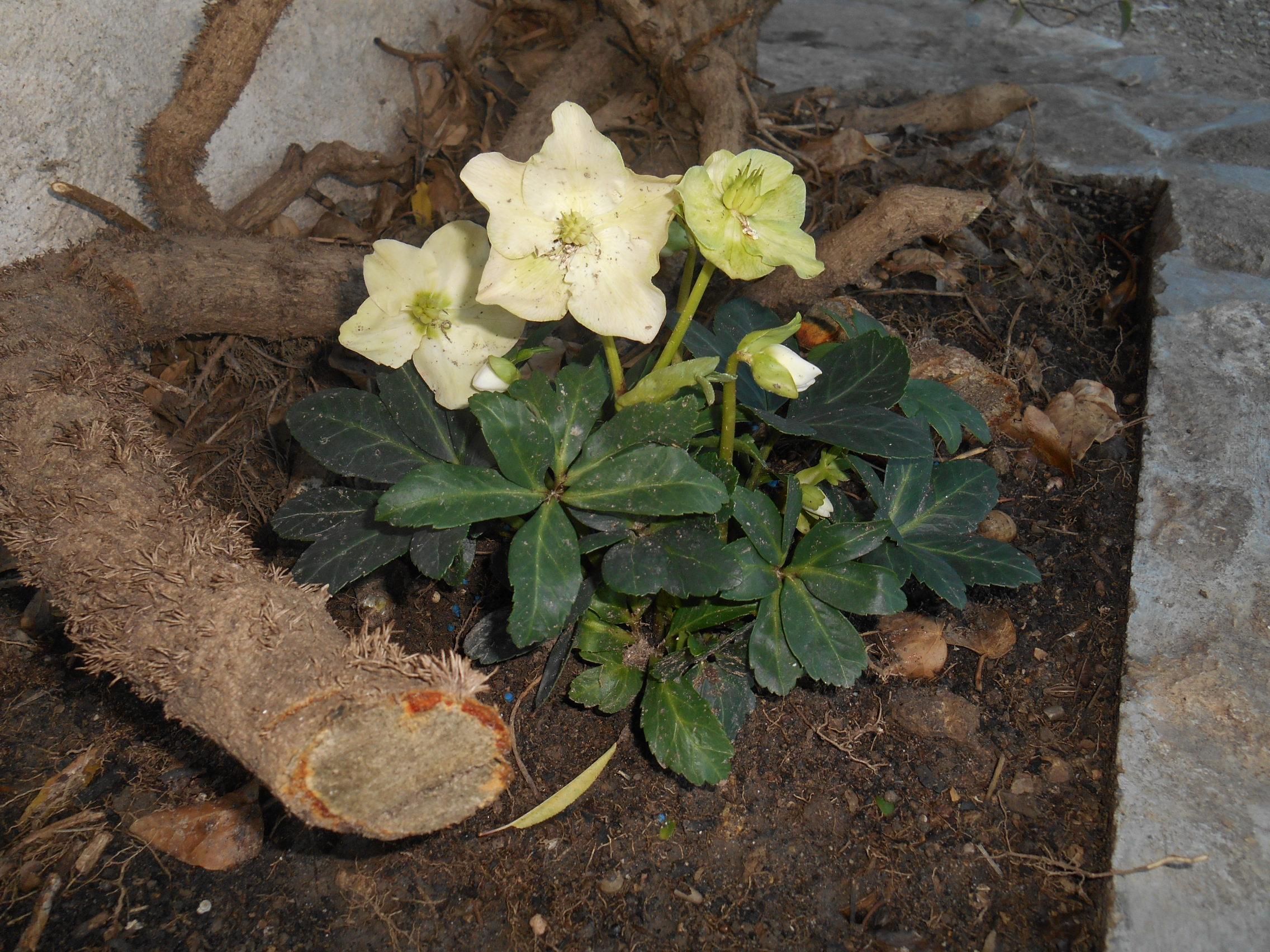 Rose/FleursDuMois/Hellebore.JPG