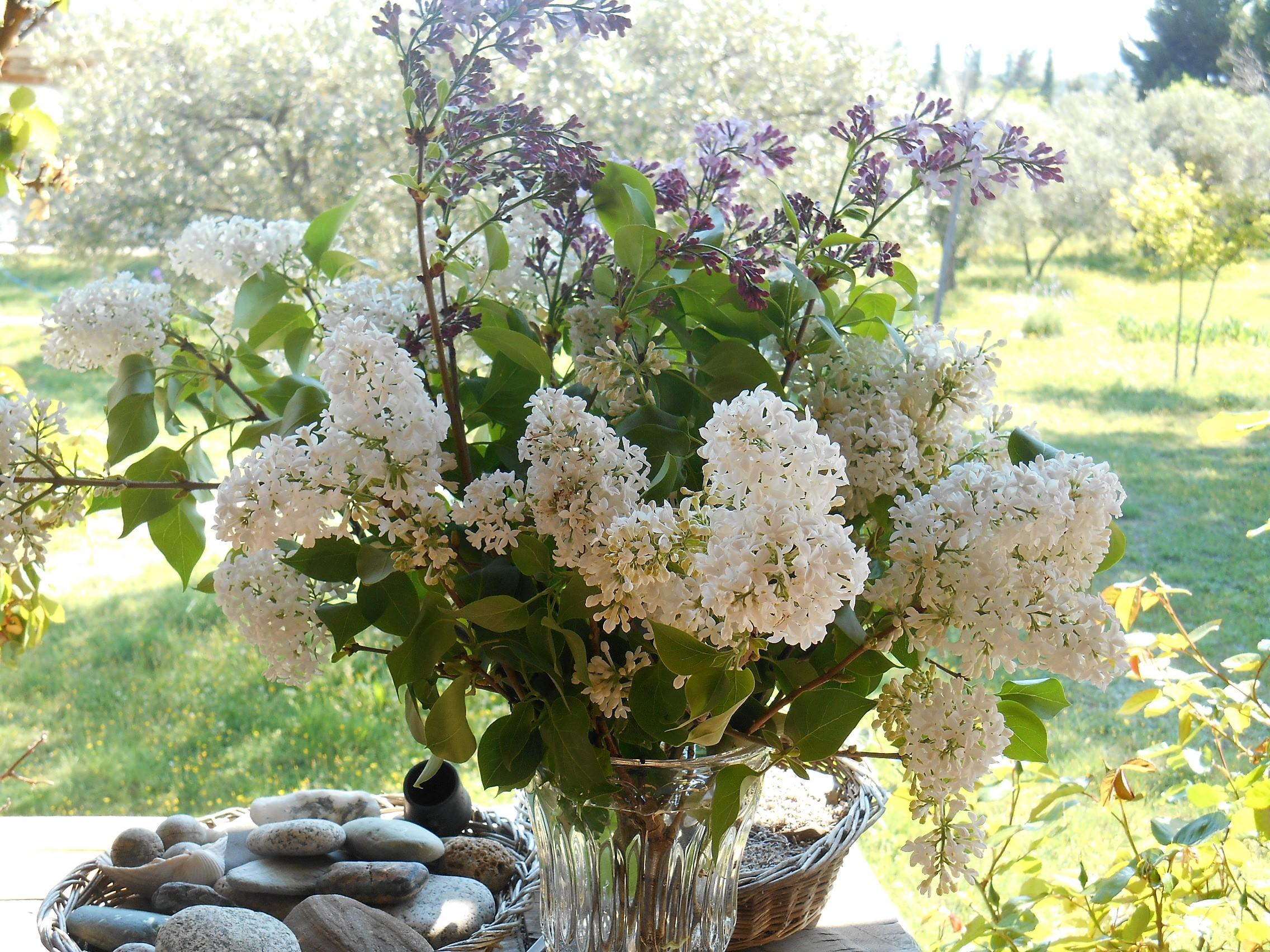 Rose/FleursDuMois/lilas.jpg